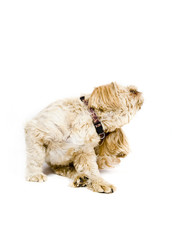 Shih Tzu Dog Scratching
