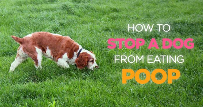 Shih Tzu Eats Poop