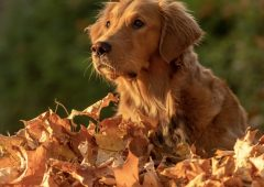 golden-retriever_enchantingpets